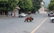 Ayı Altıağac Milli Parkına aparılacaq (VİDEO/FOTO)
