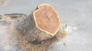 İcra Hakimiyyəti ağacların kəsilməsini təkzib edir