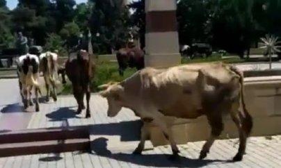 """İcra Hakimiyyətinin yanında inəklər otlayır: """"İstiqlal"""" parkında biabırçı mənzərə (FOTOLAR)"""